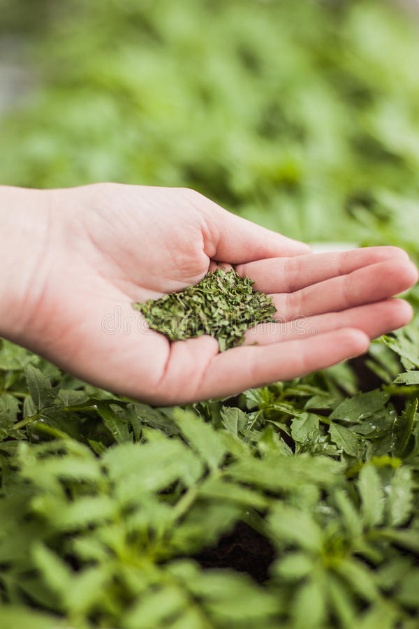 Plants. Green small seminal in hand stock images