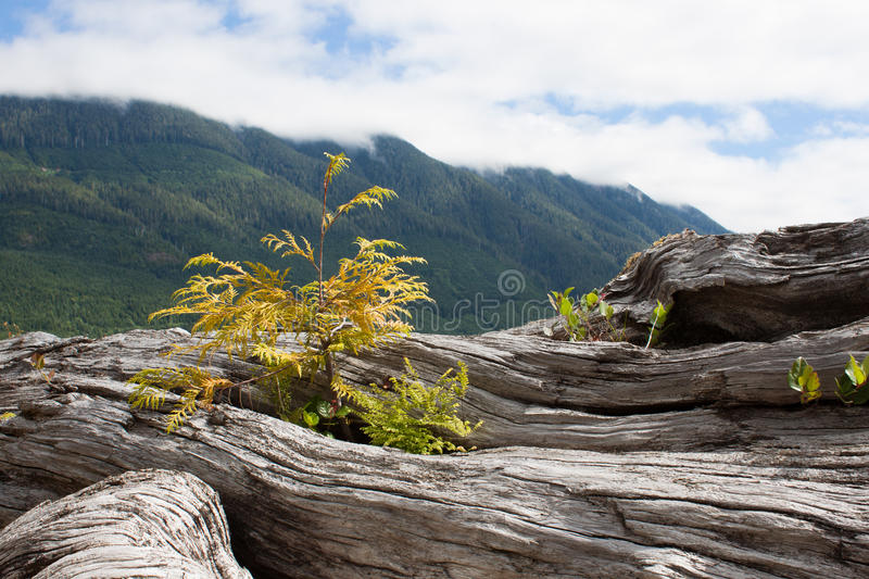 Plants Growing From Log. Green plants growing from an old dead log with a blue mountain background royalty free stock images