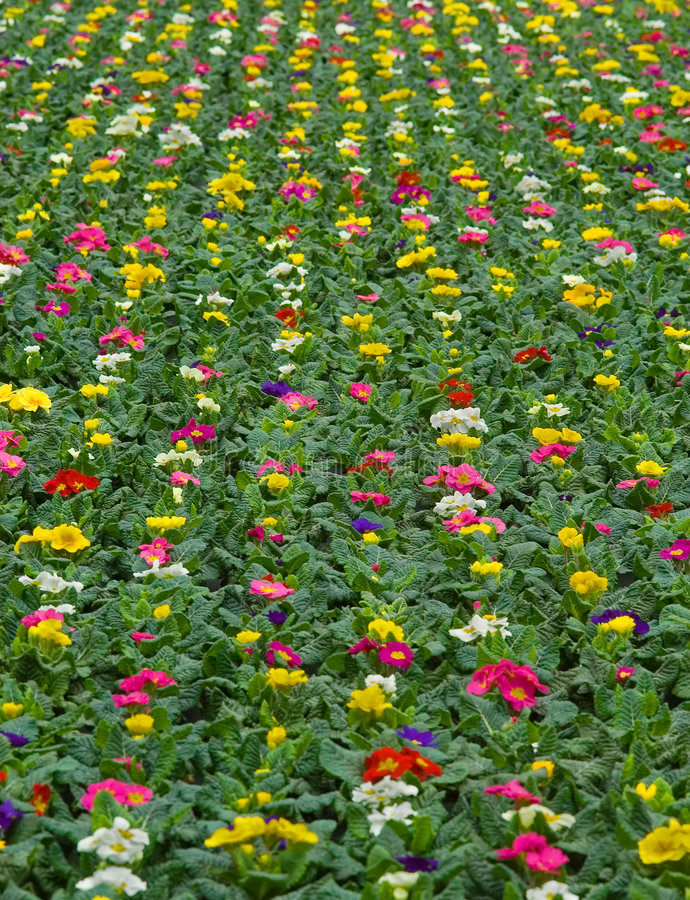 Plants growing in nursery. Many colorful primulas growing in a nursery royalty free stock photo