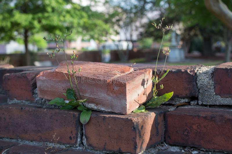 Plants growing out of a brick wall. royalty free stock image