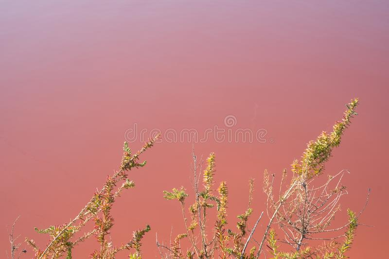 Plants growing in pink salt flats at Margherita Di Savoia in Puglia, Italy. Water is pink crustaceans that live in it. Pink salt flats at Margherita Di Savoia stock photography
