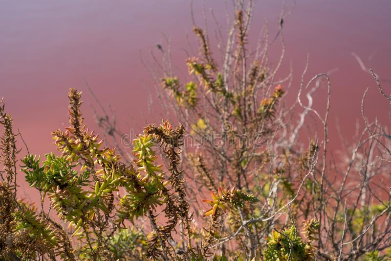 Plants growing in pink salt flats at Margherita Di Savoia in Puglia, Italy. Water is pink crustaceans that live in it. Pink salt flats at Margherita Di Savoia stock images