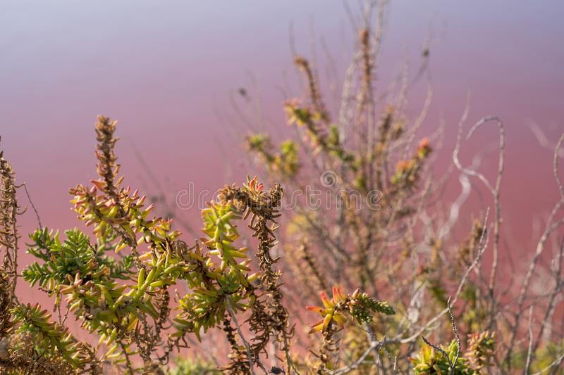 Plants growing in pink salt flats at Margherita Di Savoia in Puglia, Italy. Water is pink crustaceans that live in it. Pink salt flats at Margherita Di Savoia royalty free stock photos