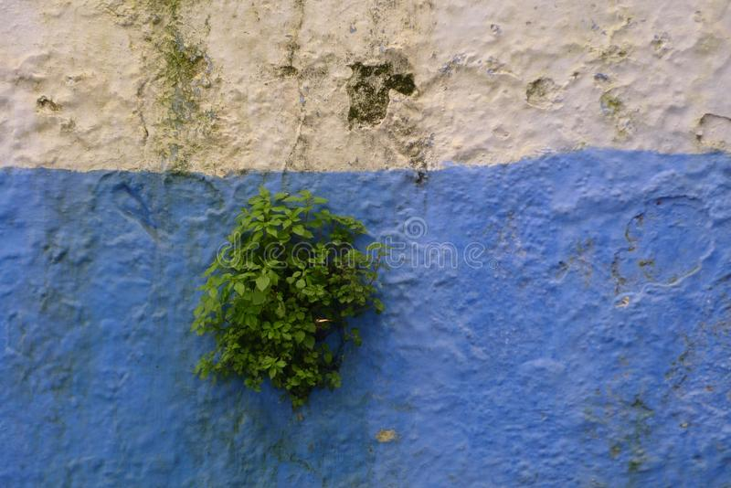 Plants that have survived on the old historical wall in Morocco. Vivid color stock photography