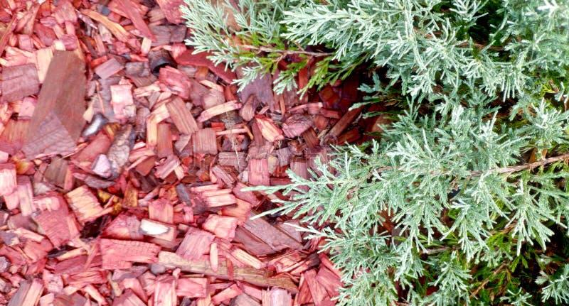 plants mulching cedar bark red mulch green garden chip mulch around juniper shrub bush flowers yard wood hardwood 193531396