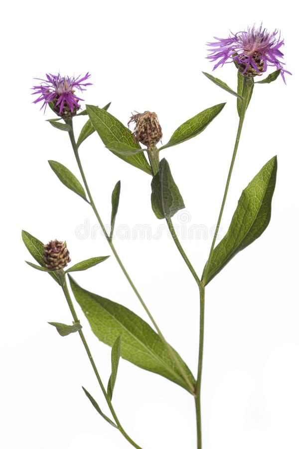 Plants from my garden: Centaurea jacea  brown knapweed  purple flowers and green leafs on a branch isolated on white background royalty free stock photo