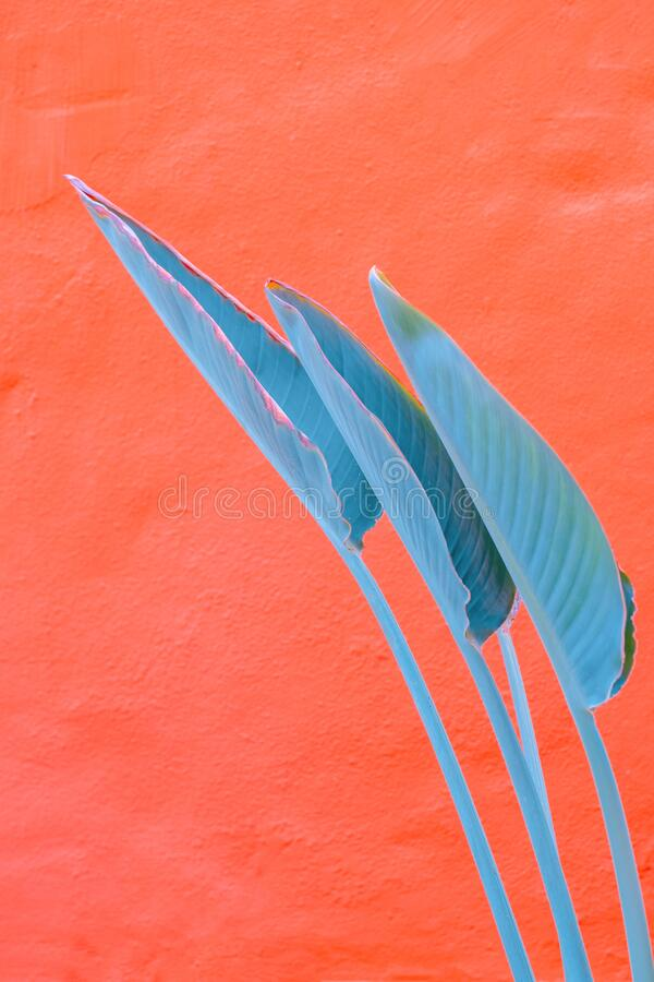 Free Plants On Pink Fashion Wallpaper. Palm Leaf On Pink Wall Background. Minimal Tropical Design. Travel Holiday Relax Nature Concept Royalty Free Stock Photography - 214245957