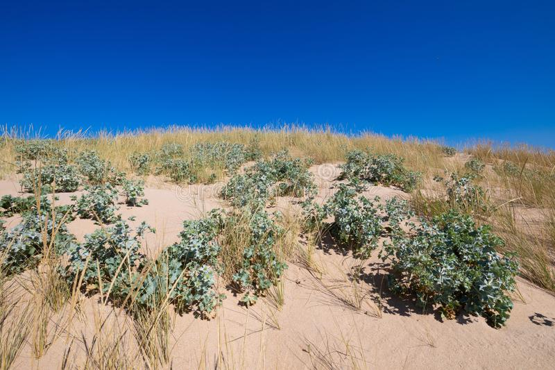 Plants sea holly and beachgrass in sand dune. Plants sea holly or seaside Eryngo Eryngium Maritimum and beachgrass Ammophila Arenaria in top of sand dune, in stock photos
