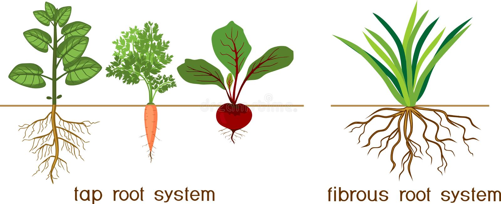 Plants with different types of root systems: tap and fibrous root systems. Plants with two different types of root systems: tap and fibrous root systems stock illustration