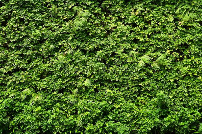 Plants wall or Green leaves wall texture background. royalty free stock image