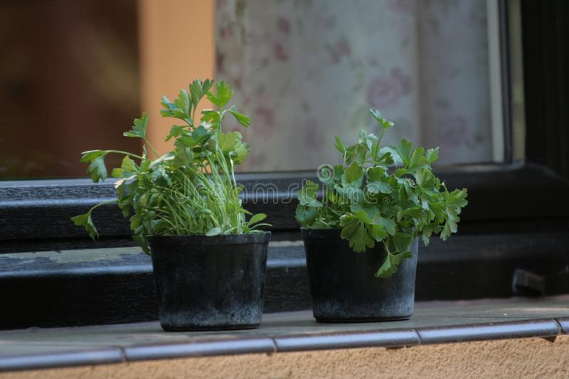 Plants on the Windowsill in the home garden. royalty free stock photography