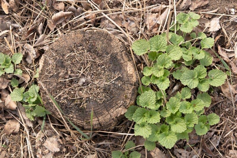 Plantula germogliata tramite le vecchie foglie asciutte su un ceppo secco immagini stock libere da diritti