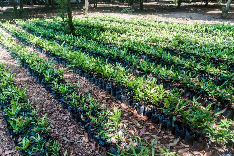 Plantule degli alberi di noce di macadamia, Guatema immagini stock