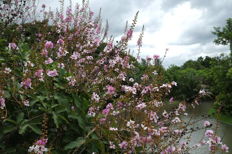 Thai crape myrtle up the river. royalty free stock photography