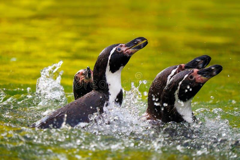 Plaskande pingvin fotografering för bildbyråer