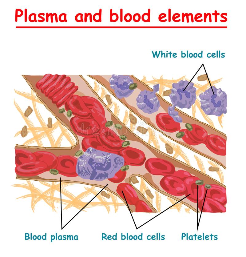 Plasma of blood and white blood cells, red blood cells, platelets. Plasma isolated vector info graphic. Different elements of huma royalty free illustration