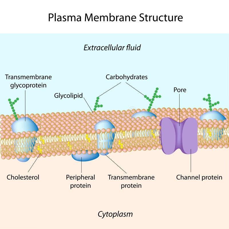 Plasma membrane stock illustration