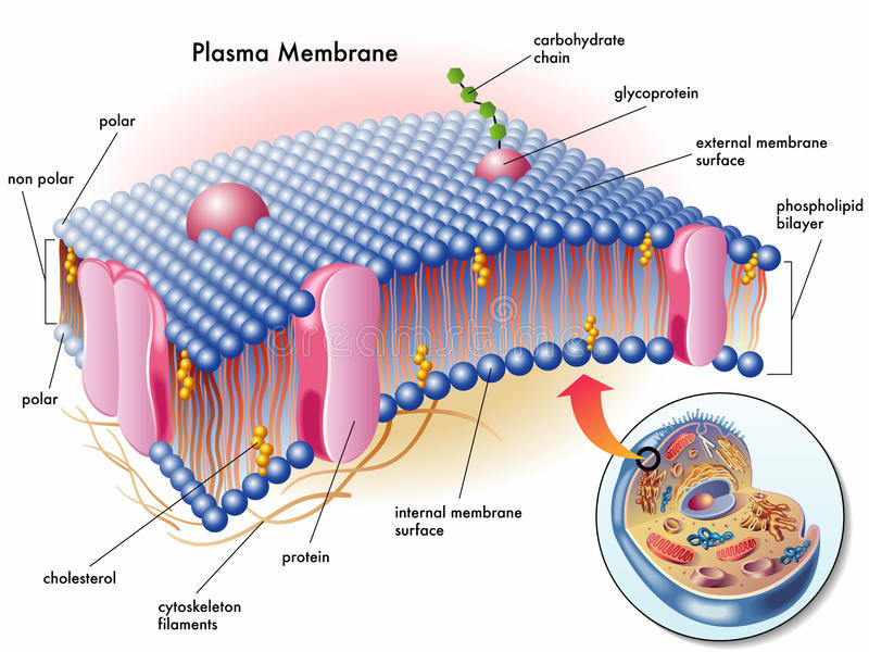 Plasmamembran royaltyfri illustrationer