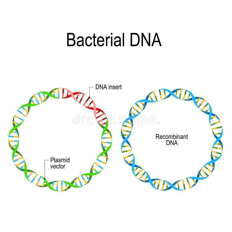 Plasmide e DNA batterico recombinante illustrazione di stock