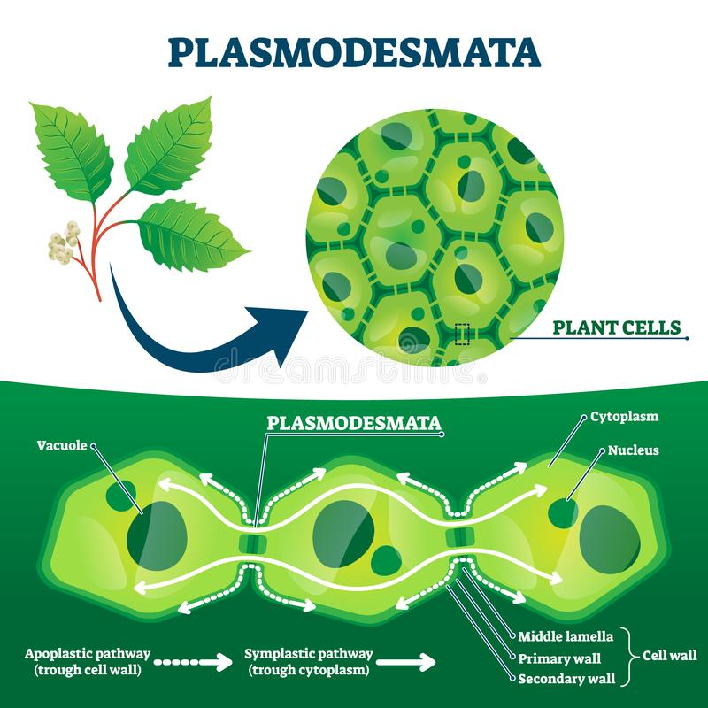 Plasmodesmata plant cells diagram, vector illustration. Educational microscopic labeled cross section scheme. Cell wall protein transport pathways royalty free illustration