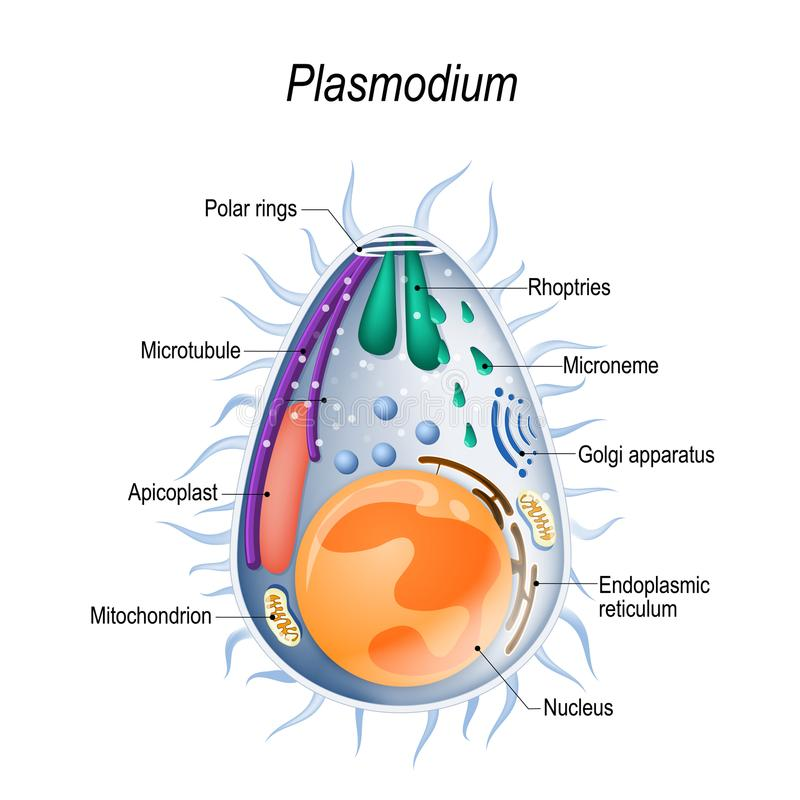 Diagram of Plasmodium merozoites structure. Plasmodium is the malaria parasite, is a large genus of parasitic protozoa. Infection with these protozoans is known stock illustration