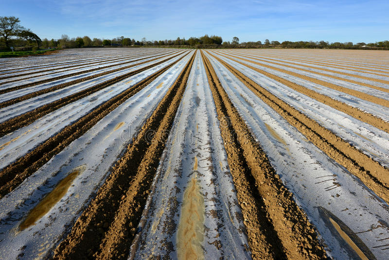 Plast- remsor på majsfältet, UK royaltyfria foton