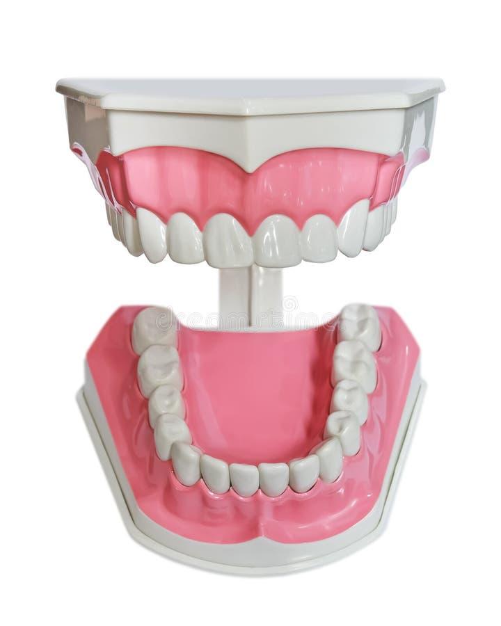 Plast- tänder och gummimodell arkivbild