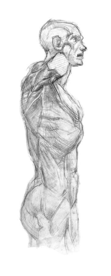 Plaster torso ekorshe training fast pencil sketch stock illustration