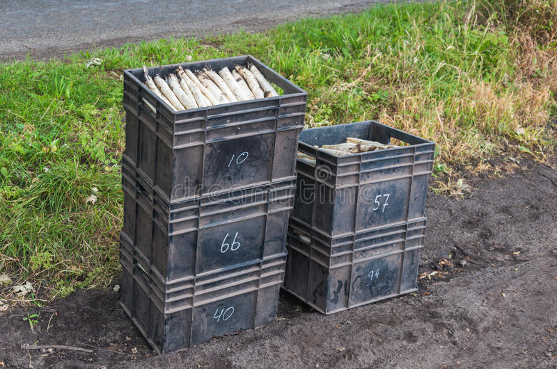 Plastic boxes with just harvested asparagus. Sloppy stacked black plastic crates with freshly harvested asparagus. Each crate shows the number of the asparagus stock photos