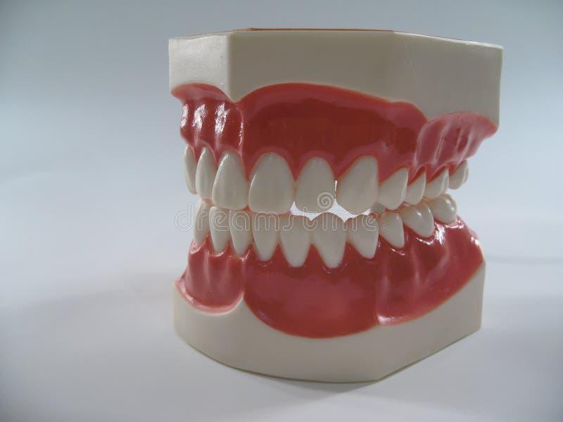 Plastic dental teeth. Teeth model,plastic dental teeth model ,chattering teeth,mold of a full set of human teeth stock image