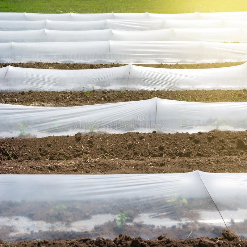 Plastic film on the ground, growing seedlings or early vegetables, frontal location, low greenhouses. Sun glare stock photography