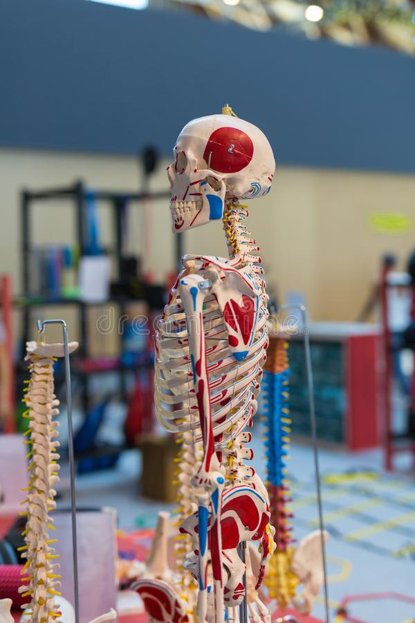 Plastic Human Skeleton with Colorful Signs for Medical Learning royalty free stock photo