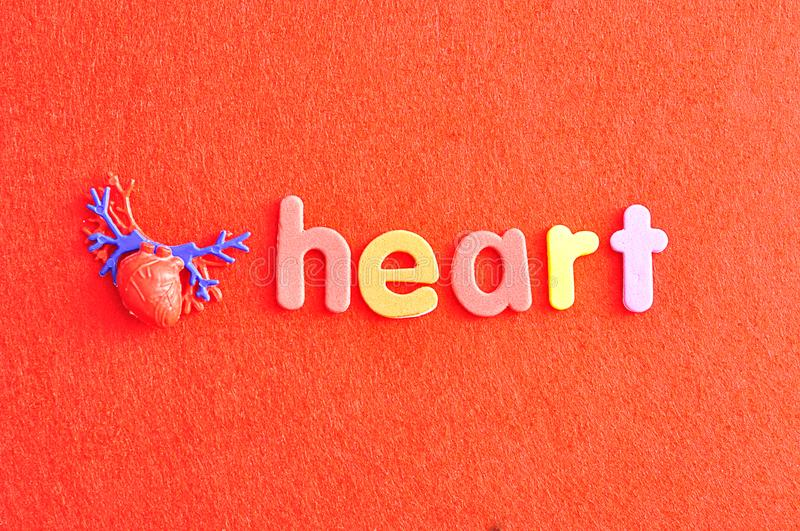 A plastic model of a human heart with the word heart stock images