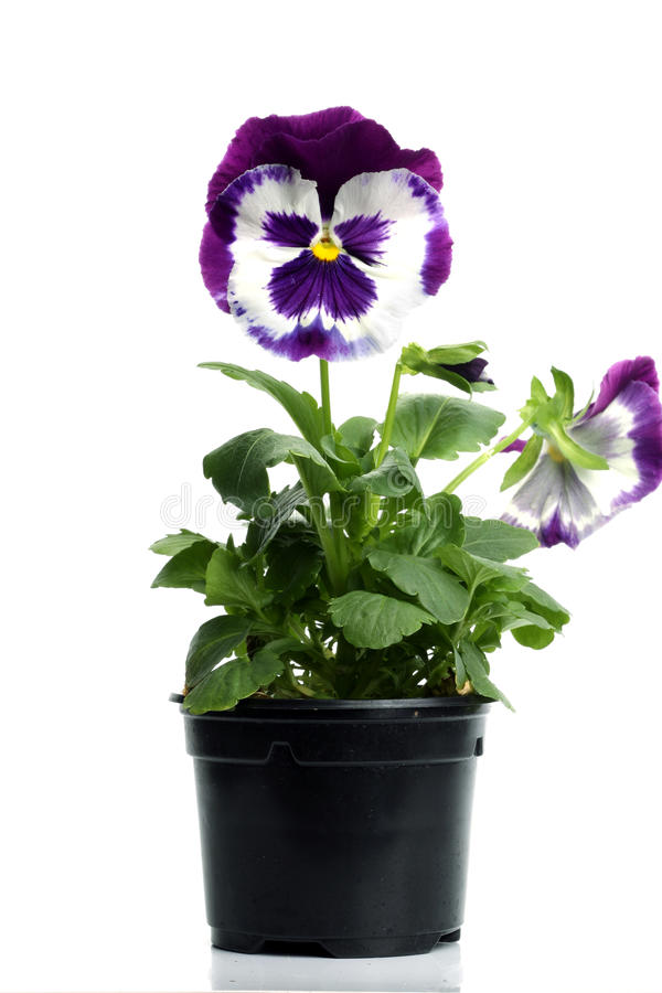 Download Plastic Pots With Blue Purple Pansy Stock Image - Image: 14001475