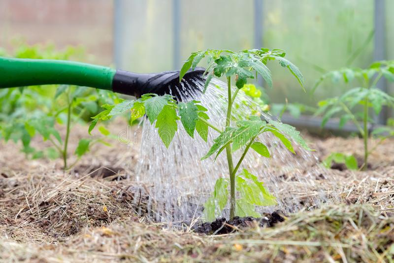 Plastic sprinkling can or funnel watering tomato plant in the greenhouse. Organic home grown tomato plants without vegetables stock image