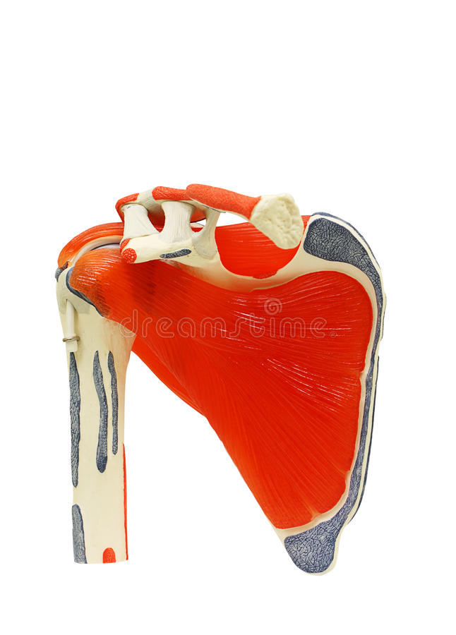 Shoulder anatomy joint isolated on white clipping path. Plastic study model of shoulder anatomy joint isolated on white background, clipping path stock photos