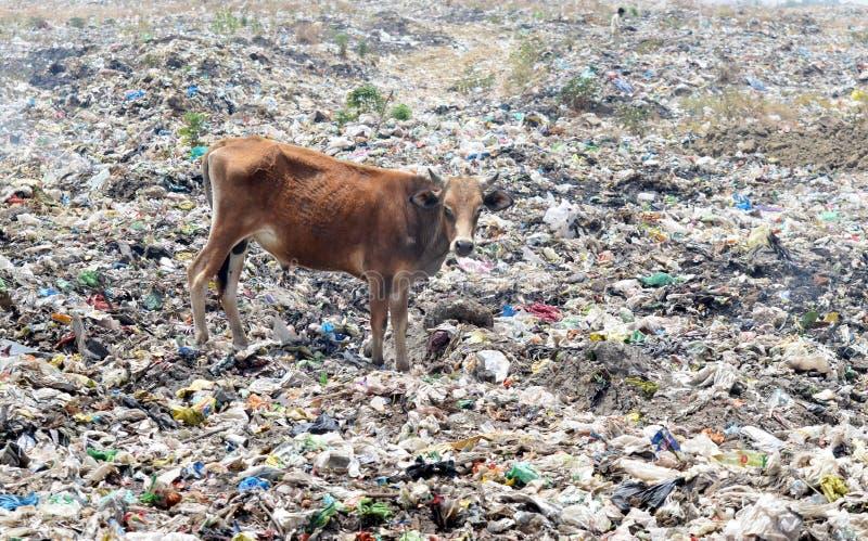 Plastiktüte verboten, um Kuh im Parlamentarier zu speichern stockfotografie