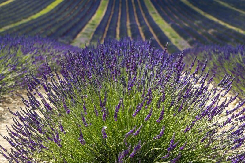 Platå de Valensole (Provence), lavendel arkivbild