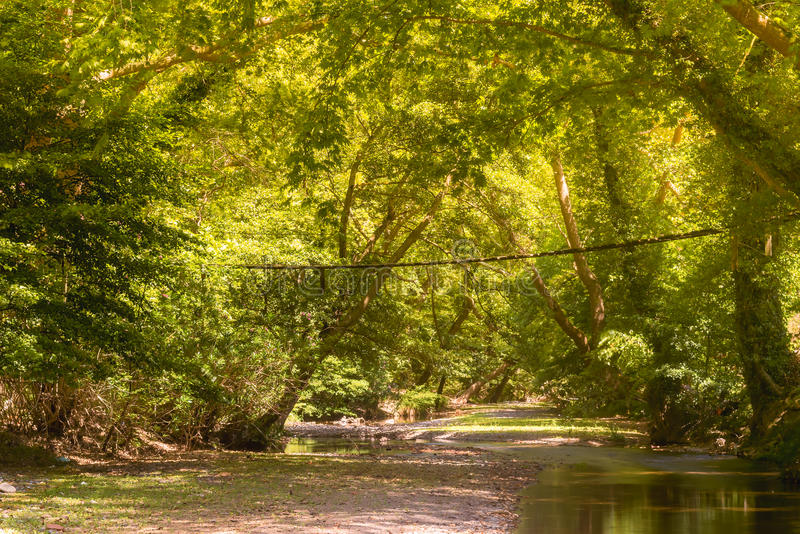 Platan forest of Prokopi in Euboea in Greece with a wooden bridge. A beautiful landscape of Kireas river with the forest. stock images