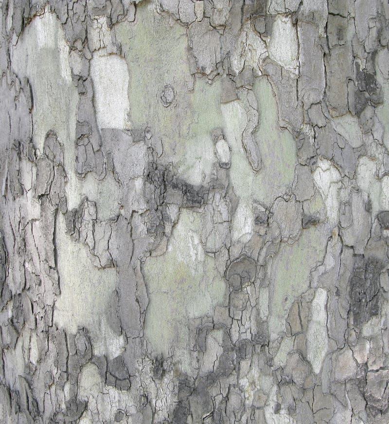 Platan skäll av trädet, naturlig kamouflagemodell royaltyfri bild
