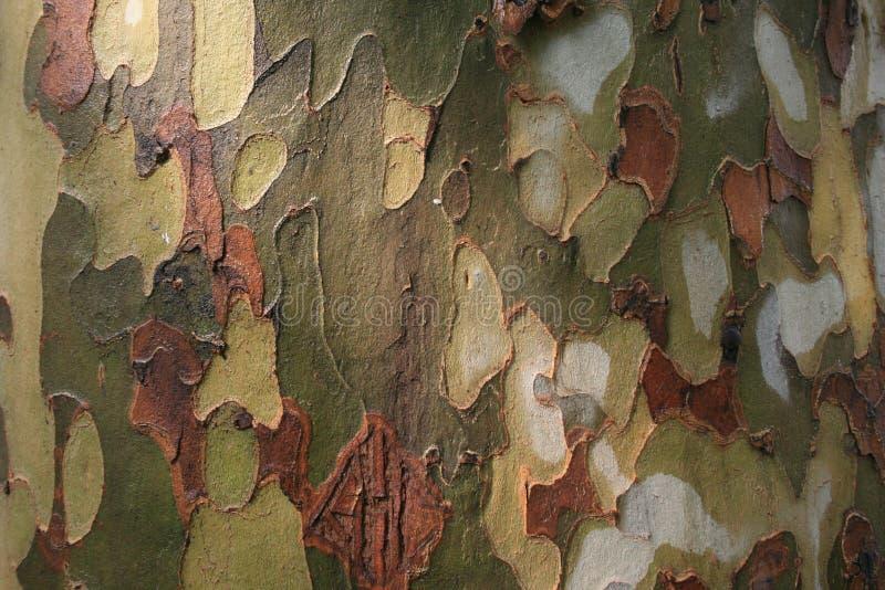 Platan tree bark stock image