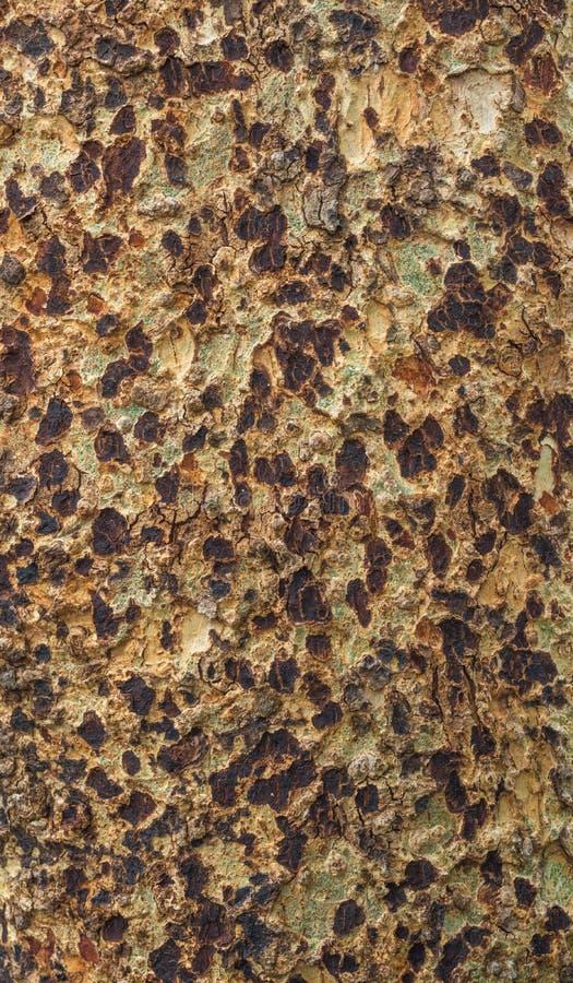 Platan tree bark texture stock photo