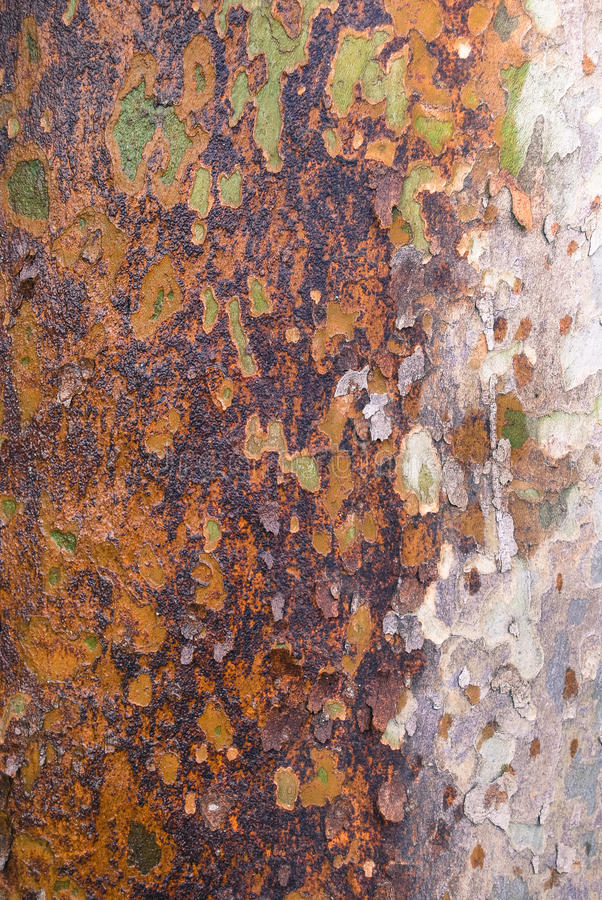 Platan tree bark texture royalty free stock photography