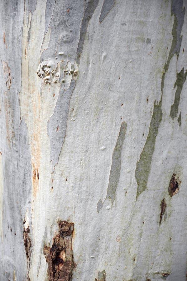 platan tree för skäll royaltyfria bilder