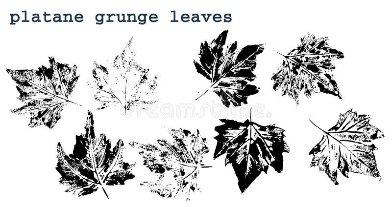 Platane leaves royalty free stock image