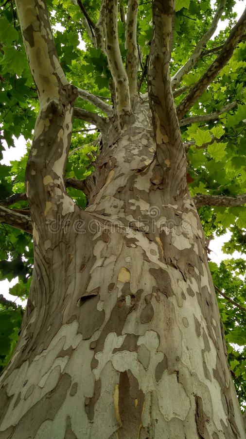 Download Platane tree_3 stockfoto. Bild von leafage, wald, blatt - 96925358