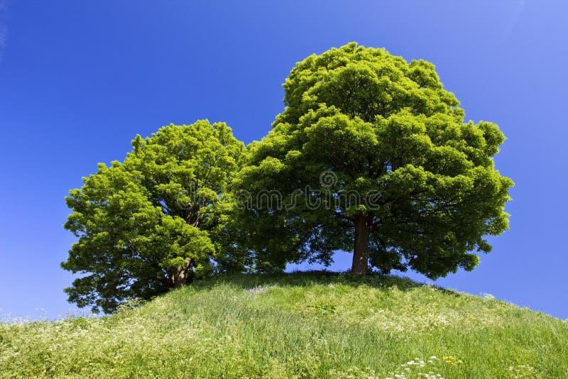 Platanen-Bäume auf dem Schloss-Hügel Oxford stockbild