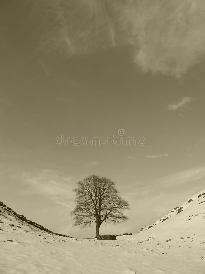 Platanen-Baum stockfoto
