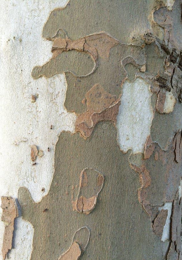 Platano / plane tree bark stock photo