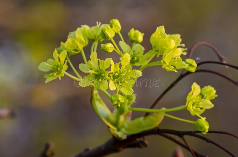 Platanoides d'Acer d'?rable de Norv?ge dans la fleur image stock